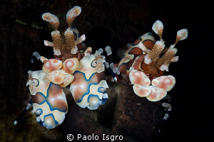 arlequin shrimps in ther natural enviroment by Paolo Isgro